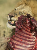 African Lion, Panthera Leo, Feeding on Gnu or Wildebeest Carcass Shortly after Dawn Photographic Print by Joe McDonald