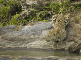 Leopard (Panthera Pardus) Drinkink at River, Masai Mara Game Reserve, Kenya, Africa Photographic Print by Joe McDonald