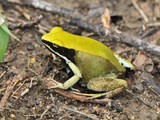 Green Mantella (Mantella Viridis), Montagne Des Franais Reserve, Antsiranana, Northern Madagascar Photographic Print by Thomas Marent