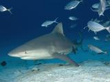 Bull Shark Female (Carcharhinus Leucas), Playa Del Carmen, Mexico, Caribbean Sea Photographic Print by Andy Murch
