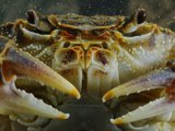 A Freshwater Crab (Potamon Fluviatilis), Italy Photographic Print by Fabio Pupin