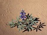 Low or Rusty Lupine (Lupinus Pusillus) and Shadows on Sand, Arches National Park, Utah, USA Photographic Print by Robert & Jean Pollock