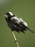 Bobolink with an Insect in its Bill (Dolichonyx Oryzivorus), USA Reproduction photographique par Joe McDonald
