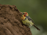 Red and Yellow Barbet Feeding on a Termite Mound, Trachyphonus Erythrocephalus, Kenya, Africa Photographic Print by Joe McDonald