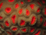 Hard Coral with Red Colored Fluorescing Retracted Polyps During the Day (Favia), Red Sea, Egypt Photographic Print by Louise Murray
