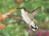 Female Ruby-Throated Hummingbird (Archilochus Colubris) Hovering, Eastern USA Photographic Print by Joe McDonald