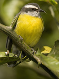 Bananaquit, Coereba Flaveola, Northern South America Papier Photo par Joe McDonald