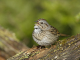 Lincoln's Sparrow Singing Photographic Print by Garth McElroy