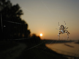 The Last Sun Rays of the Day Shining on a Bridge Spider (Larinioides Sclopetarius) Photographic Print by Fabio Pupin