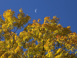 Crescent Moon in the Daytime Sky over Fall Maple Trees Photographic Print by Robert Servranckx