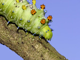Cecropia Moth Caterpillar (Hyalophora Cecropia) on Tree Branch Photographic Print by Mark Plonsky
