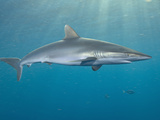 Silky Shark (Carcharhinus Falciformis), Galveston, Texas, USA, Gulf of Mexico Photographic Print by Andy Murch