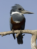 Ringed Kingfisher (Ceryle Torquata) Photographic Print by Joe McDonald