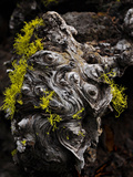 Wolf Lichen (Letharia Vulpina) Growing on a Dead Conifer, Camp Sherman, Oregon, USA Photographic Print by Robert & Jean Pollock