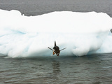 Gentoo Penguin (Pygoscelis Papua) Diving into the Sea from an Iceberg, Antarctica Photographic Print by Joe McDonald