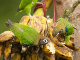 Browh-Hooded Parrots Eating Bananas (Pionopsitta Haematotis), Laguna Del Lagarto, Costa Rica Photographic Print by Mary Ann McDonald