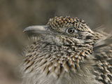 Greater Roadrunner Head, Geococcyx Californianus, Western North America Photographie par Arthur Morris