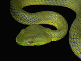 The Chinese Green Tree Viper (Trimeresurus Stejnegeri) Is Highly Venomous Snake Photographic Print by Jeffrey Miller