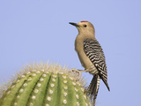 Gila Woodpecker (Melanerpes Uropygialis) Perched Photographic Print by Steve Maslowski