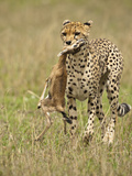 Cheetah (Acinonyx Jubatus) with Thomson's Gazelle (Eudorcas Thomsonii) Kill Photographic Print by Joe McDonald