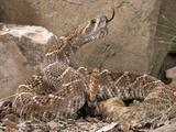 Western Diamondback Rattlesnake (Crotalus Atrox) Photographic Print by Joe McDonald