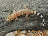 A Young Socotran Ground Gecko (Hemidactylus Homoeolepis) Endemic to Socotra, Yemen Photographic Print by Fabio Pupin