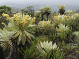Frailejon (Espeletia) in the High Altitude Grasslands of Puracâ» National Park, Department Cauca Photographic Print by Thomas Marent