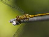 Ruby Meadowhawk Dragonfly (Sympetrum Rubidunculum) Photographic Print by Robert Servranckx