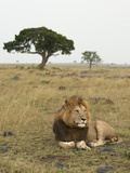 Male African Lion (Panthera Leo) in the Masai Mara Game Reserve, Kenya Photographic Print by Joe McDonald