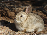Desert Cottontail (Sylvilagus Audubonii), California, USA Photographic Print by Garth McElroy