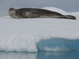 Leopard Seal Resting on an Iceberg (Hydrurga Leptonyx) Photographic Print by Louise Murray