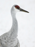 Sandhill Crane Head, Grus Canadensis, North America Photographic Print by Arthur Morris
