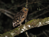 Buffy Fish Owl (Ketupa Ketupu), Danum Valley Conservation Area, Sabah, Borneo, Malaysia Photographic Print by Thomas Marent