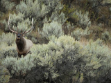 Elk (Cervus Canadensis) in Yellowstone National Park, USA Photographic Print by Joe McDonald