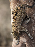 African Leopard Climbing Down a Tree (Panthera Pardus), Masai Mara Game Reserve, Kenya Photographic Print by Joe McDonald