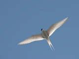 Tern (Sterna Paradisaea) in Flight These Birds Have the Longest known Migration of Any Bird Photographic Print by Louise Murray