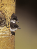Violet-Green Swallow Nestlings Peering from their Nest Hole in a Tree, Tachycineta Thalassina Photographie par Charles Melton