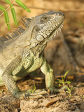 Green Iguana Head (Iguana Iguana), Pantanal, Brazil Photographic Print by Mary Ann McDonald