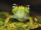 Tree Frog (Boophis Bottae), Andasibe-Mantadia National Park, Madagascar Photographic Print by Thomas Marent