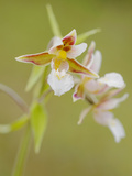 Marsh Helleborine Orchid (Epipactis Palustris), Italy Photographic Print by Fabio Pupin