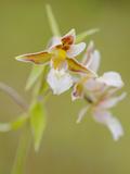 Marsh Helleborine Orchid (Epipactis Palustris), Italy Photographic Print by Fabio Pupin