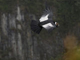Male Andean Condor Flying (Vultur Gryphus), Puracâ» National Park, Department Cauca, Colombia Photographic Print by Thomas Marent