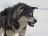 Husky Snarling, Qaanaaq, Greenland Photographic Print by Louise Murray