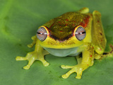 Treefrog (Hyla Rubracyla), San Cipriano Reserve, Cauca, Colombia Photographic Print by Thomas Marent