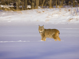 Eurasian Lynx (Lynx Lynx) Standing in the Snow Photographic Print by Jack Milchanowski