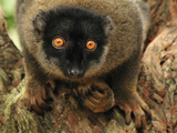 Brown Lemur Face (Eulemur Fulvus Fulvus), Andasibe-Mantadia National Park, Madagascar Photographic Print by Thomas Marent