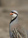 Chukar Partridge (Alectoris Chukar), Montana, USA Photographic Print by Neal Mischler