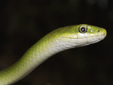 A Rough Green Snake Head (Opheodrys Aestivus), Illinois, USA Photographic Print by Gerold & Cynthia Merker