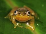 Spotted Madagascar Reed Frog (Heterixalus Punctatus), Andasibe-Mantadia National Park, Madagascar Photographic Print by Thomas Marent