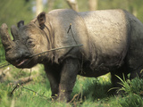 Sumatran Rhinoceros (Dicerorhinus Sumatrensis) Photographic Print by Louise Murray